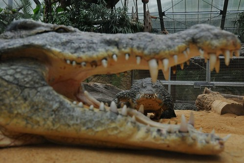 crocodylus niloticus by Joachim S. Müller