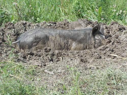 SJDagg 18.6.12 mvf pig happy