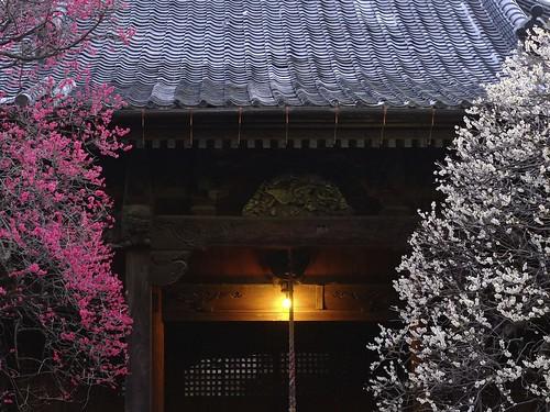 pink light sunset red white night temple blossom plum