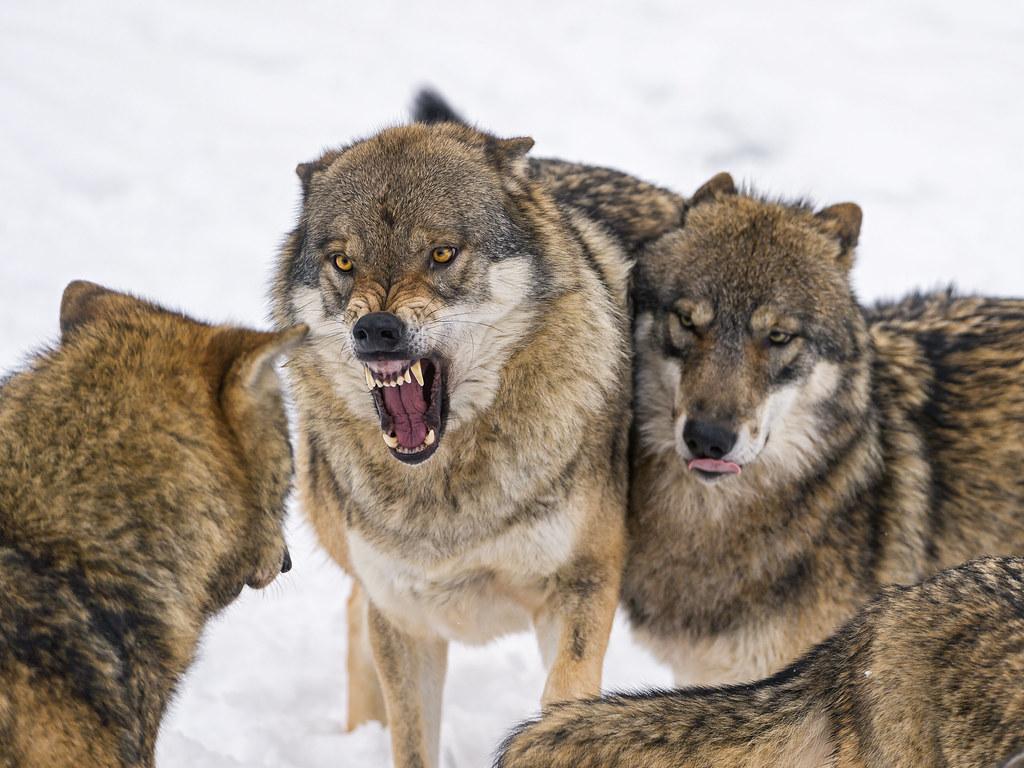 Wolf's argument