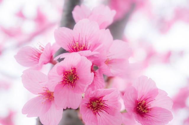 咲くも桜、散るも桜
