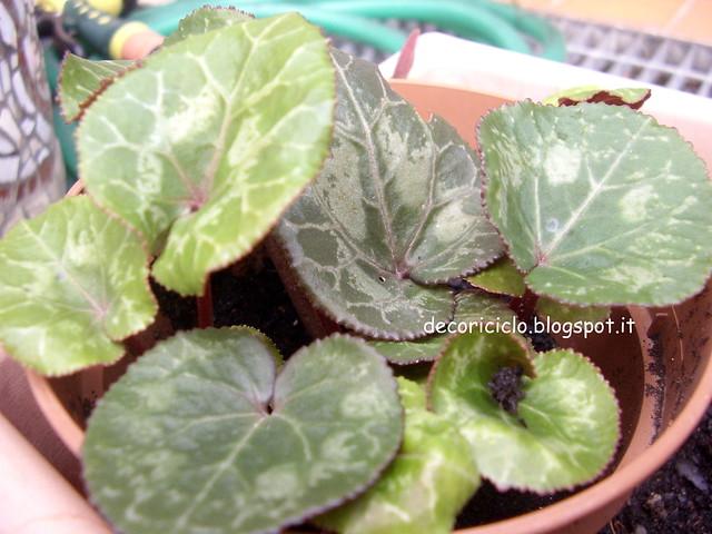 4. fiori del mio giardino - ciclamino-