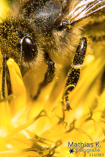 Biene | Projekt 365 | Tag 112