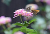 2 Skippers Enjoying Lantana
