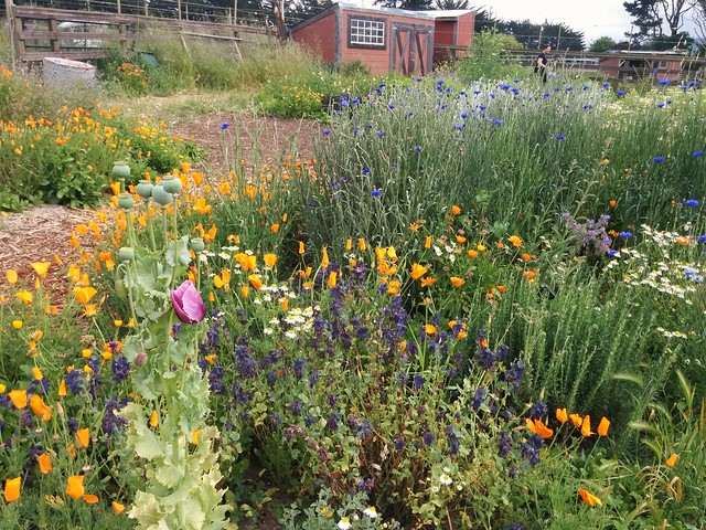 Beautiful California native wildflower garden