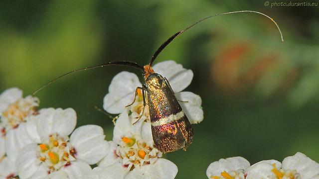 Adelidae · Langhornmotte III (Adela australis?)