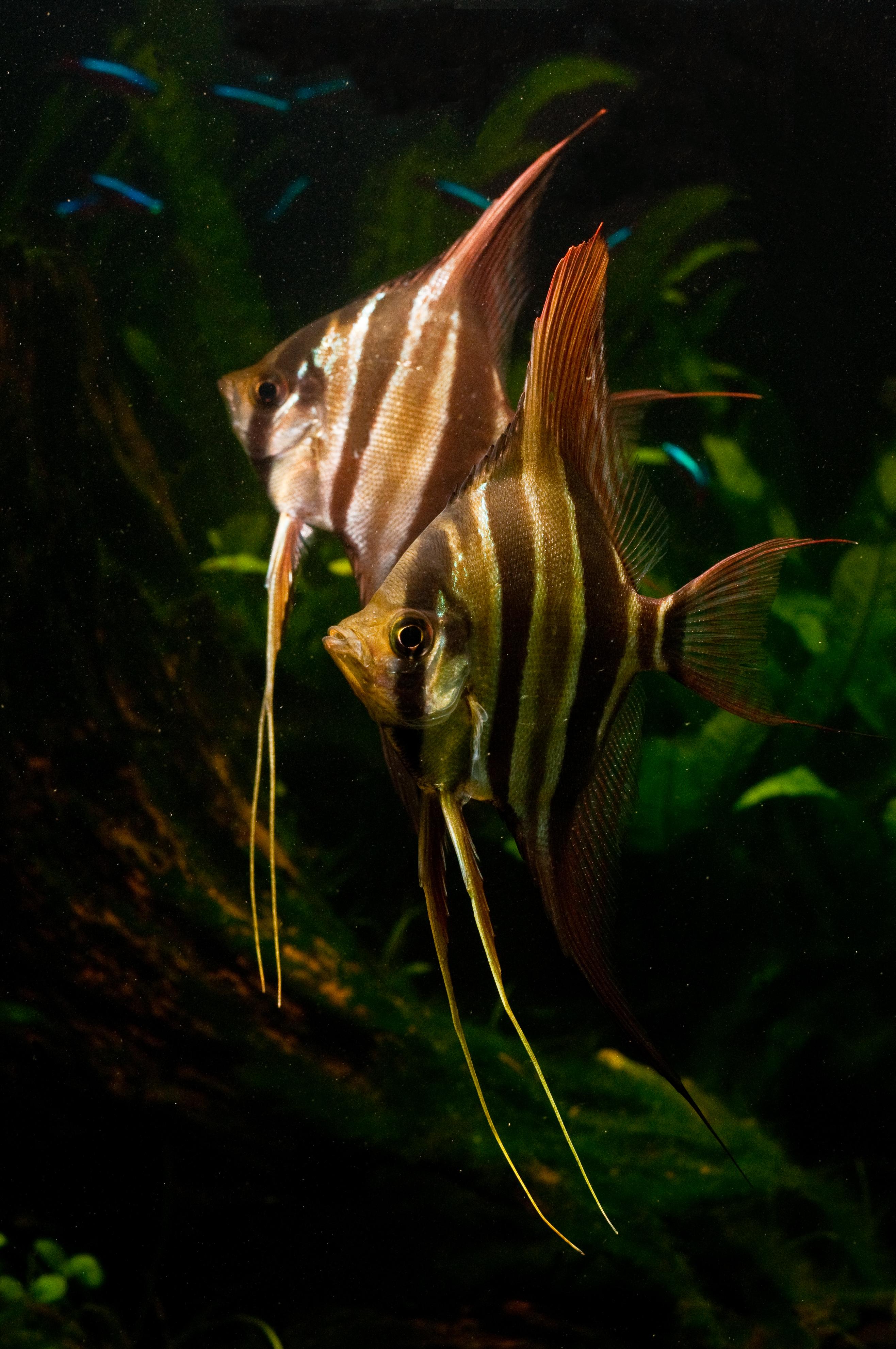 Altum Angelfish : Pterophyllum Altum Explore cschoys photos on Flickr. csch ...