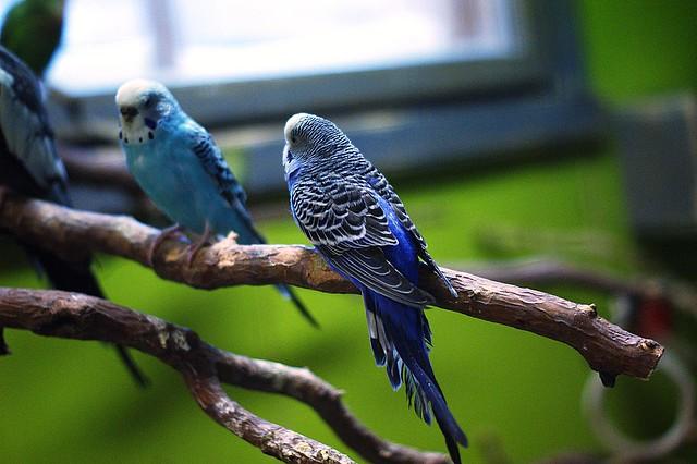 sinisiä undulaatteja