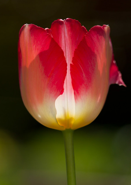 Tulip backlit