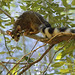 Ringtail - Photo (c) Tatiana Gettelman, some rights reserved (CC BY-NC-SA)