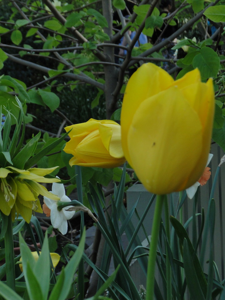 77-21apr12_4061_Botanical_garden_tulip