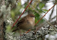 Savi's Warbler - April 2012