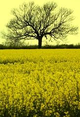 Annual rape seed harvest Hereford #dailyshoot