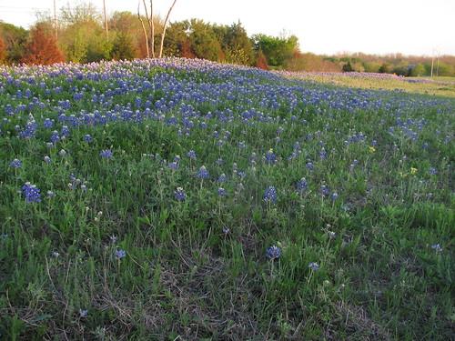 Little Field of Bluebonnets