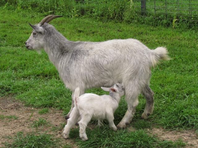 goats mar2012 4
