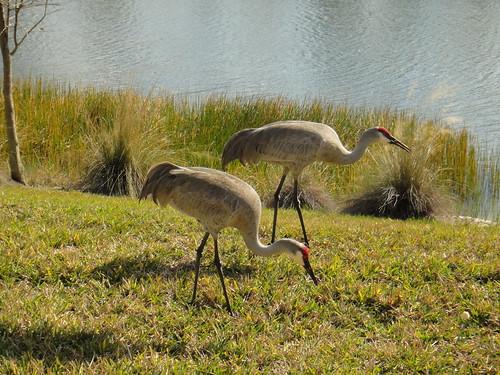 Sandhill Cranes by Ellen Hawkins