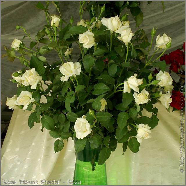 Rosa 'Mount Shasta' - Róża