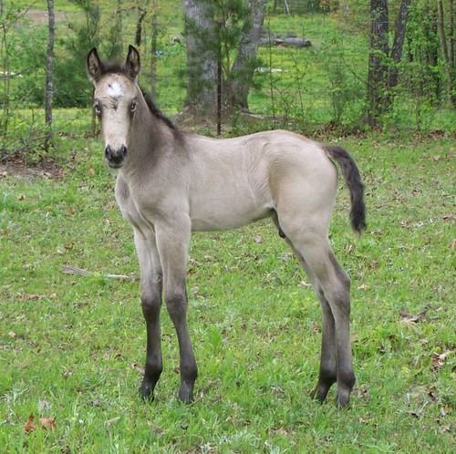 """tonto"" Buckskin or Grulla Colt Perfect!"