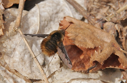 Grand Bombyle / Large Bee Fly