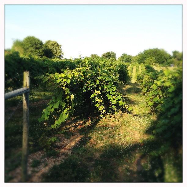 Evening vineyard