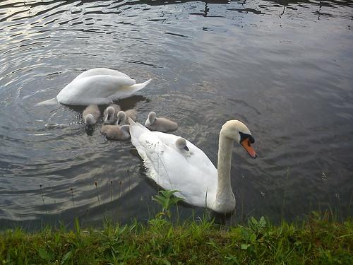 Lazy swan babies