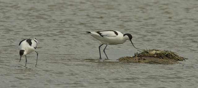 avocet pair + nest 2