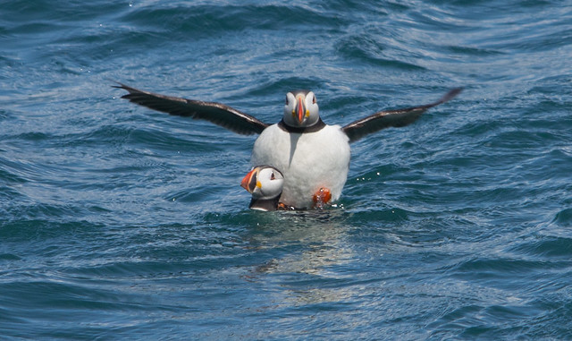 mating puffins