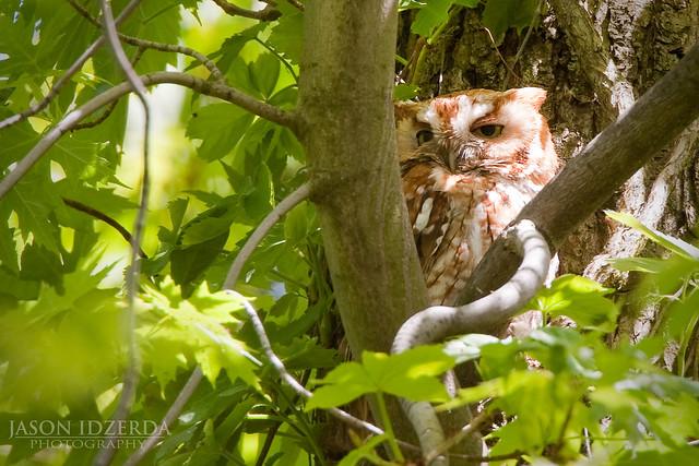 Sleepy Rufous Screech Owl