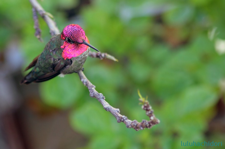 Anna's Hummingbird 051712-6