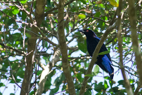 male Asian Fairy-Bluebird