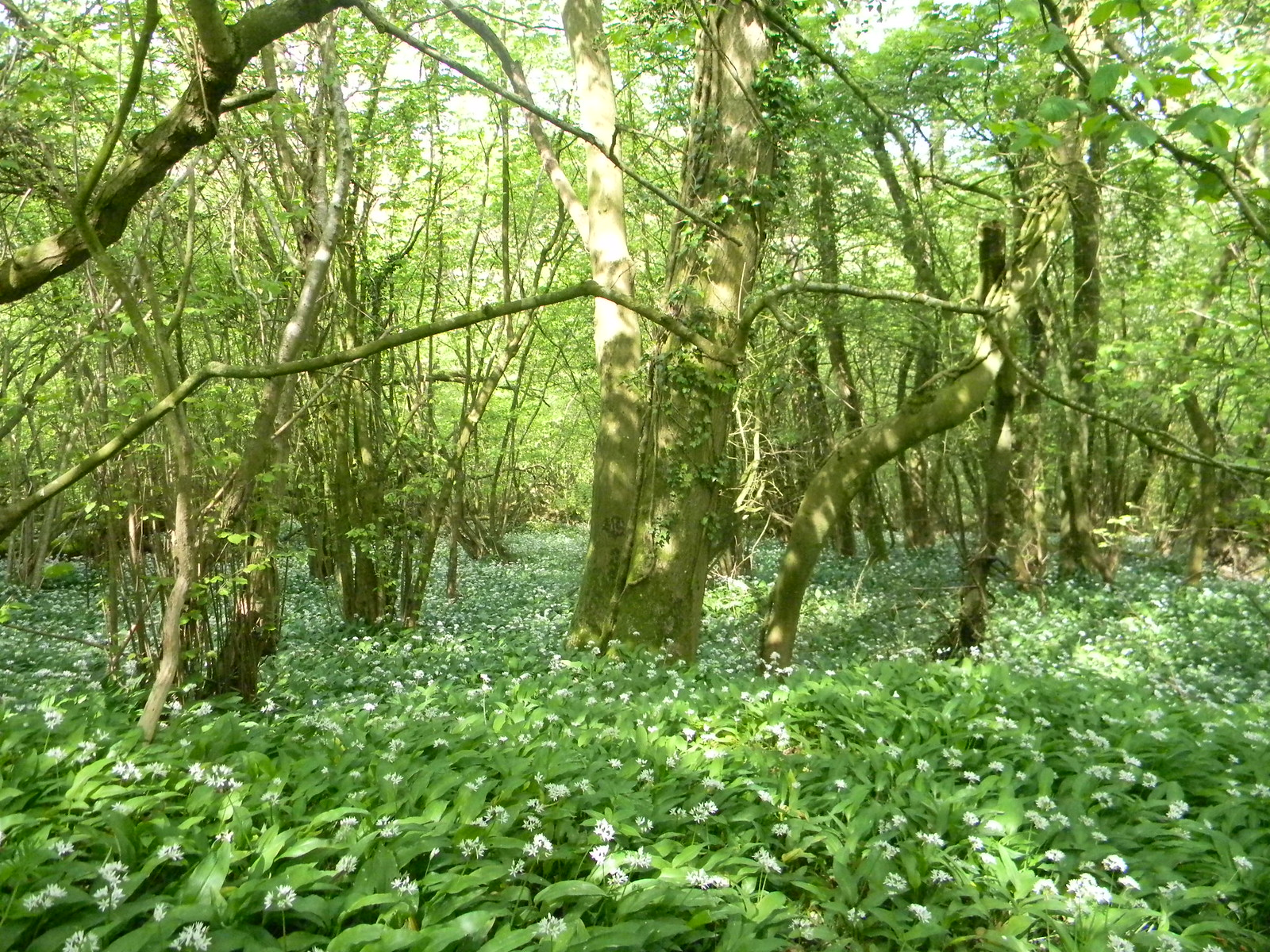 Wild Garlic Descent to Jevington. Berwick to Birling Gap