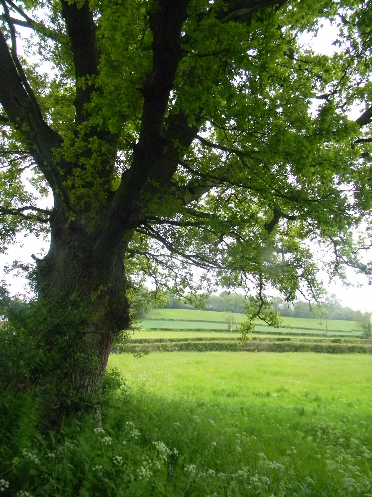 Tree , field Cowden to Eridge