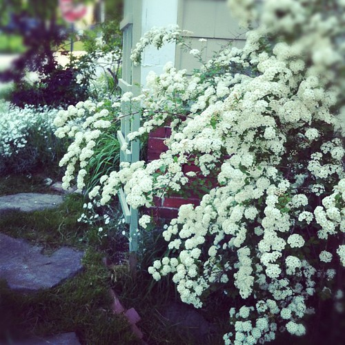 spirea and snow in summer #zone6a #urbangarden #organicgarden