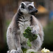 Ring-tailed Lemur by wwarby