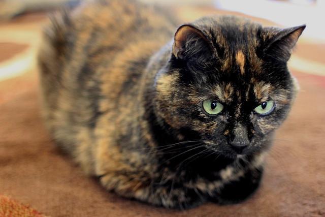 Little tortoiseshell flickr photo sharing - Images of tortoiseshell cats ...