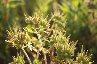Cranesbill seedpods