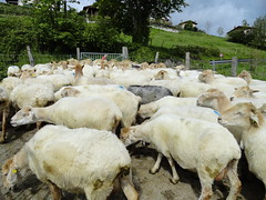 animal, sheeps, sheep, mammal, goats, herd, fauna, herding, pasture,