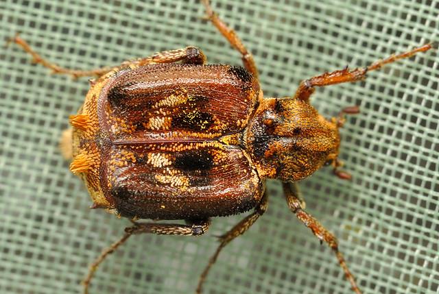 Dasyvalgus tuberculatus