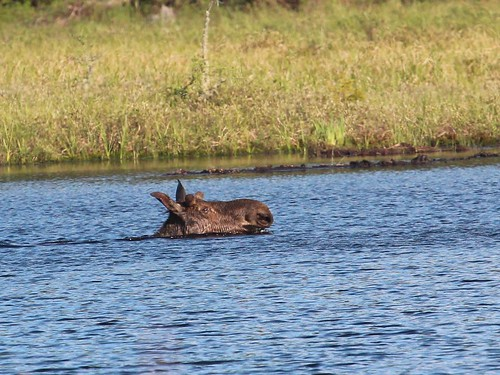 Moose head by ricmcarthur