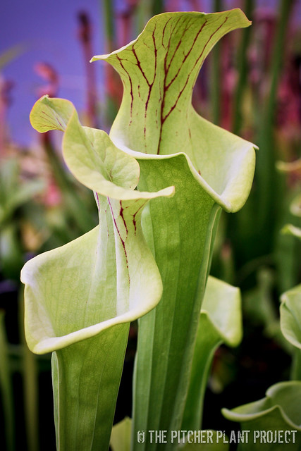 "Sarracenia flava ""Widemouth"""