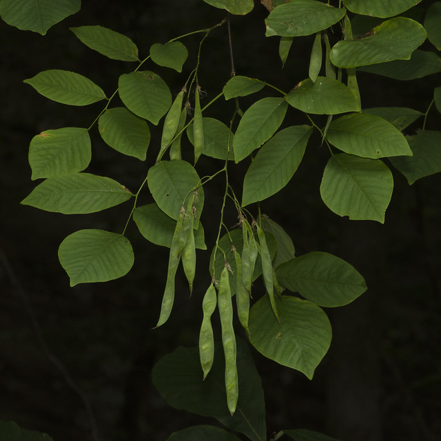 Yellowwood tree fruit