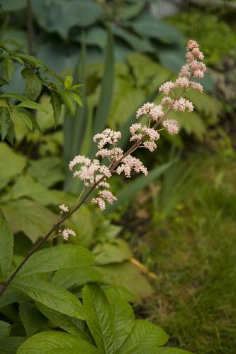 Rodgersia superba blossom