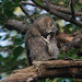 screech-owls-june2012-8
