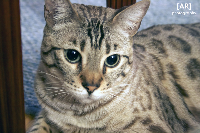 Bengal Cats Food Allergies
