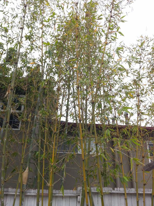 Bamboo id?