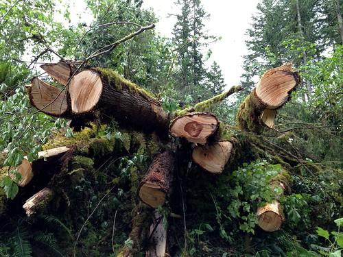 oak by Nature Morte