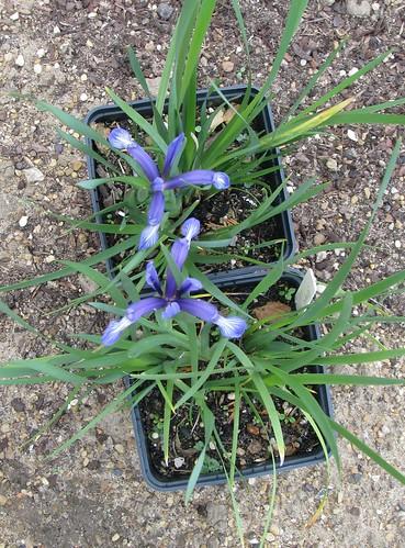 Iris sintenisii
