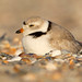 Piping Plover by Steve Gifford by Steve Gifford - IN