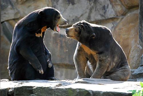 Malaienbären Maika und Bumipol im Zoo Berlin