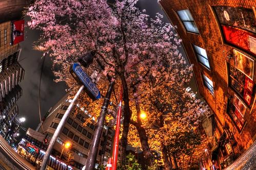 末広町のすき焼き「いし橋」前の夜桜